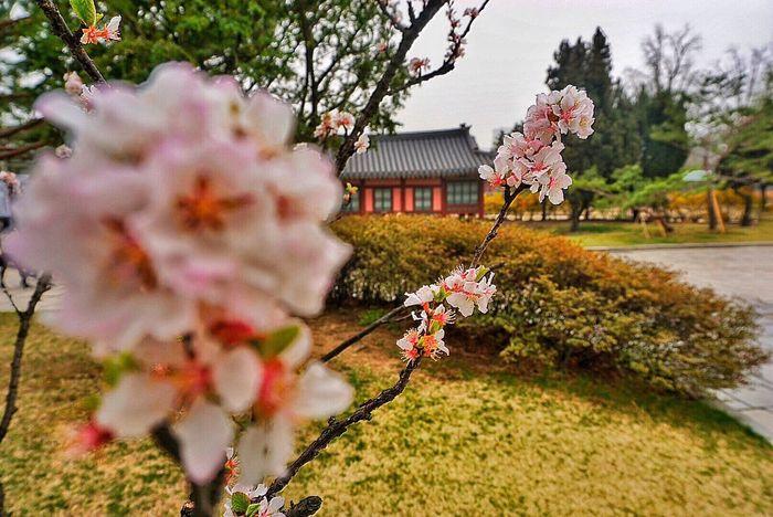 Enjoying Life Taking Photos Travel Photography No People Sakura Pink Cherry Blossoms Seoul_korea Gyeongbokgung Palace, Seoul House Flowrrs And Plants Pink The Great Outdoors - 2016 EyeEm Awards