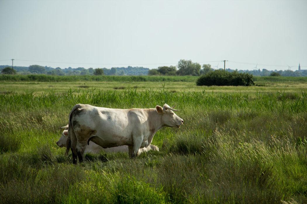 Clear Sky Lavau Sur Loire Marais Nature Agriculture Animal Themes Cow Day Field Grass La Loire Loire Atlantique Nature No People Outdoors Sky