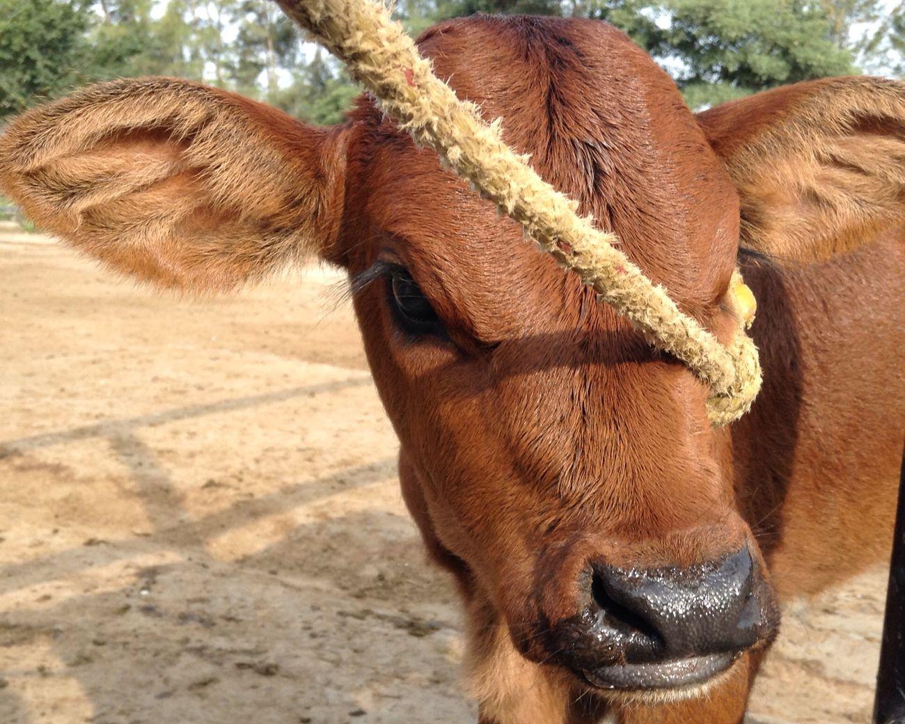 Hormiga gruñona/9 días de nacida... ? Cow BabyPet Lovely