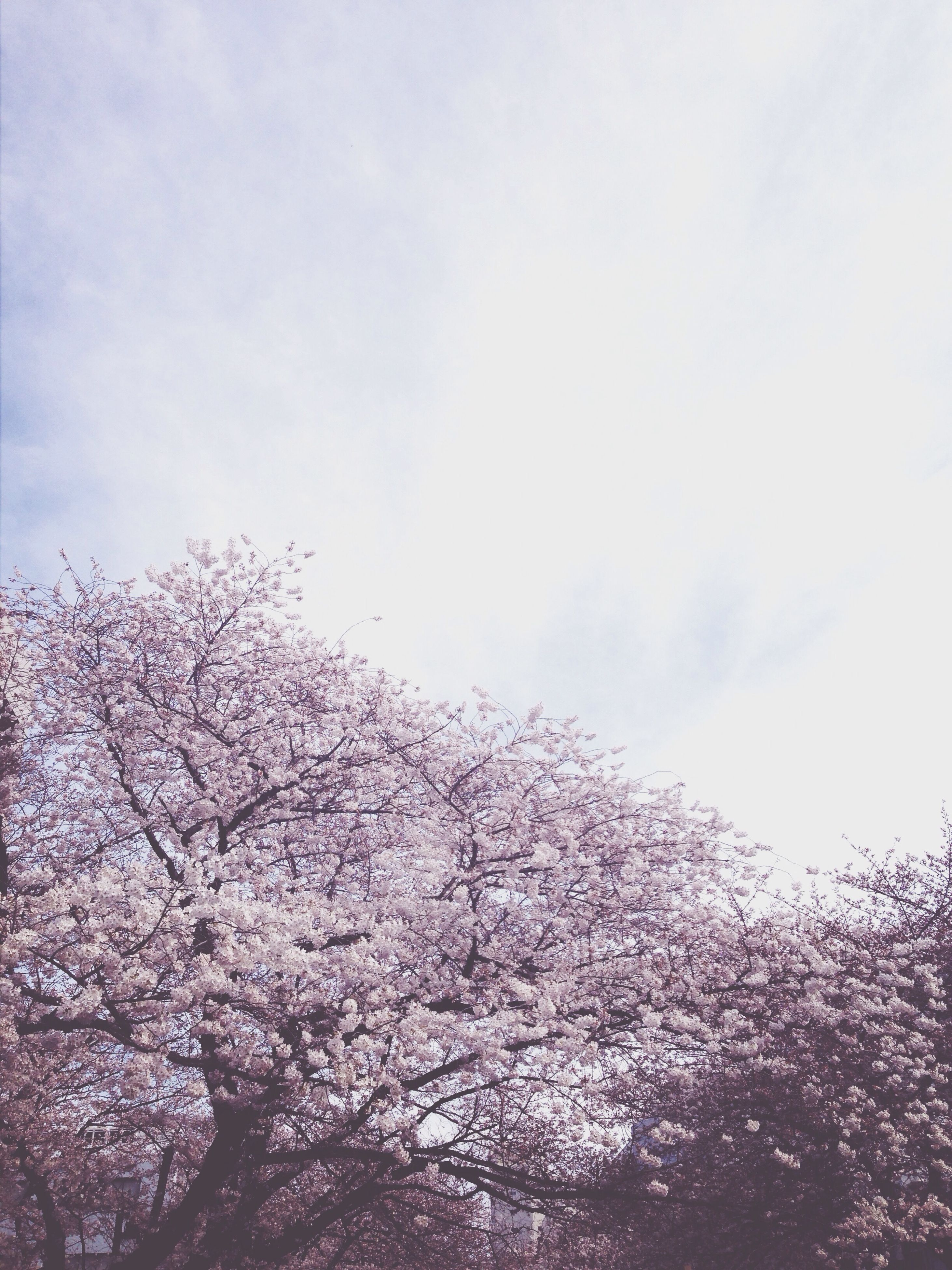low angle view, tree, sky, nature, beauty in nature, branch, growth, white color, flower, tranquility, day, outdoors, no people, cloud - sky, scenics, weather, bare tree, season, tranquil scene, high section