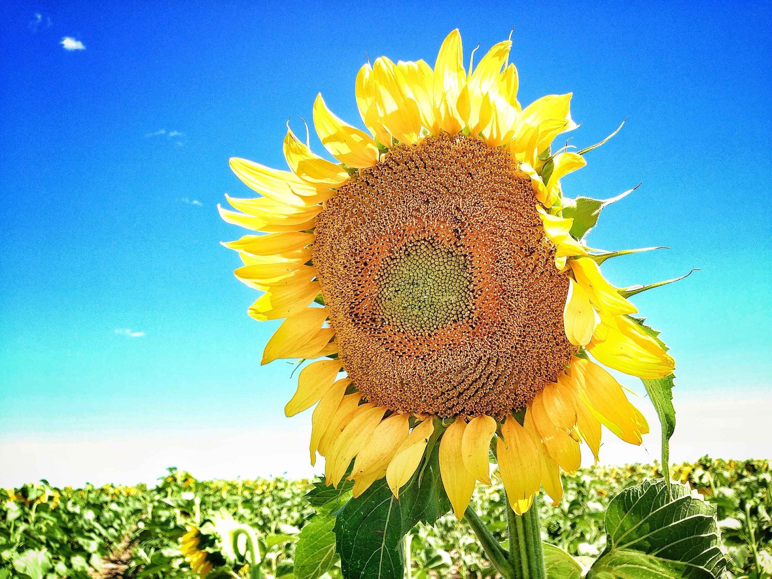 sunflower, flower, yellow, freshness, growth, flower head, fragility, beauty in nature, petal, blue, nature, clear sky, low angle view, blooming, pollen, leaf, single flower, plant, sky, close-up