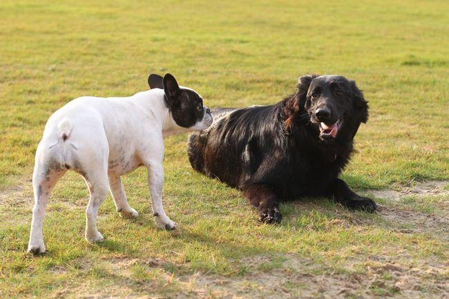 Hunde Hundebekanntschaft Dogs Doggie Friend Friends Hundefreunde Black And White Black & White Hund Hello Say Hello Frenchbulldog French Bulldog Französische Bulldogge