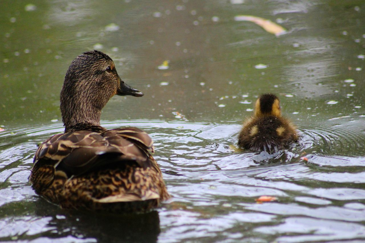 Baby Baby Ducks Baby ❤ Beginnings Bird Bird Photography Birds Birds_collection Brown Close Up Close-up Detail Duck EyeEm Best Shots EyeEm Best Shots - Nature EyeEm Nature Lover EyeEmBestPics From My Point Of View Lake Mallard Duck Outdoors Perspective Reflection Water Wild Life