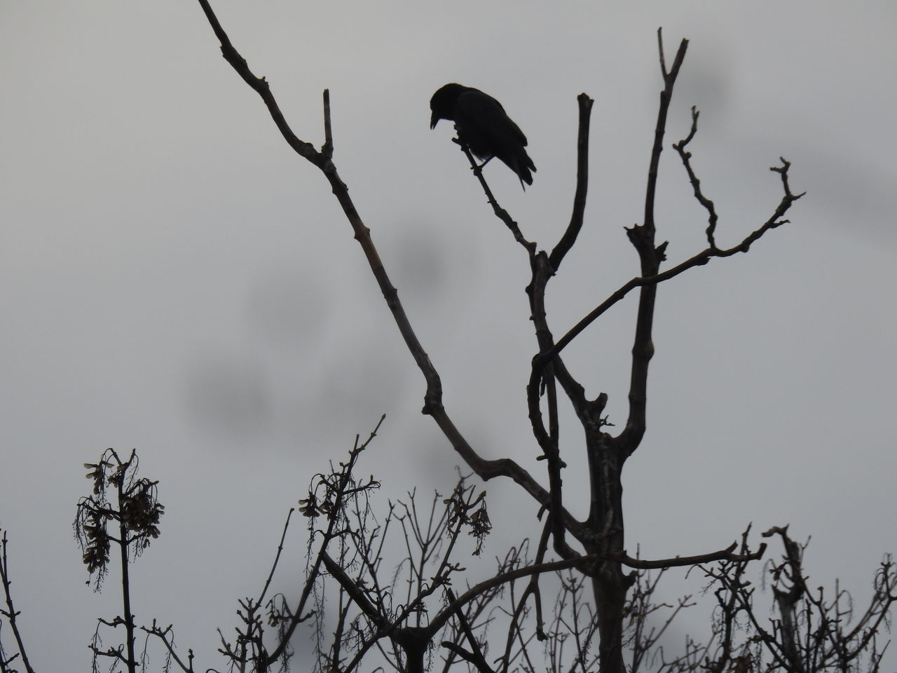 Lonely Crow Tree Branch Nature Bare Tree Bird Silhouette Tree Trunk No People Outdoors Living Organism Beauty In Nature Sky Day Graysky Gray Skies Crow Crows One Animal One Bird Silhouettes Silhouette Photography Crow Silhouette Bird Photography Dreary Weather  Spooky Atmosphere