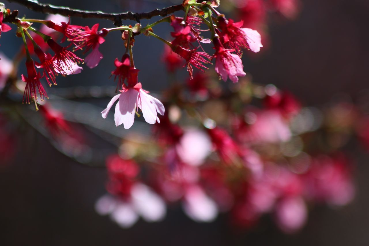flower, beauty in nature, fragility, growth, nature, petal, freshness, no people, springtime, pink color, branch, outdoors, blossom, red, close-up, focus on foreground, tree, plum blossom, day, blooming, flower head