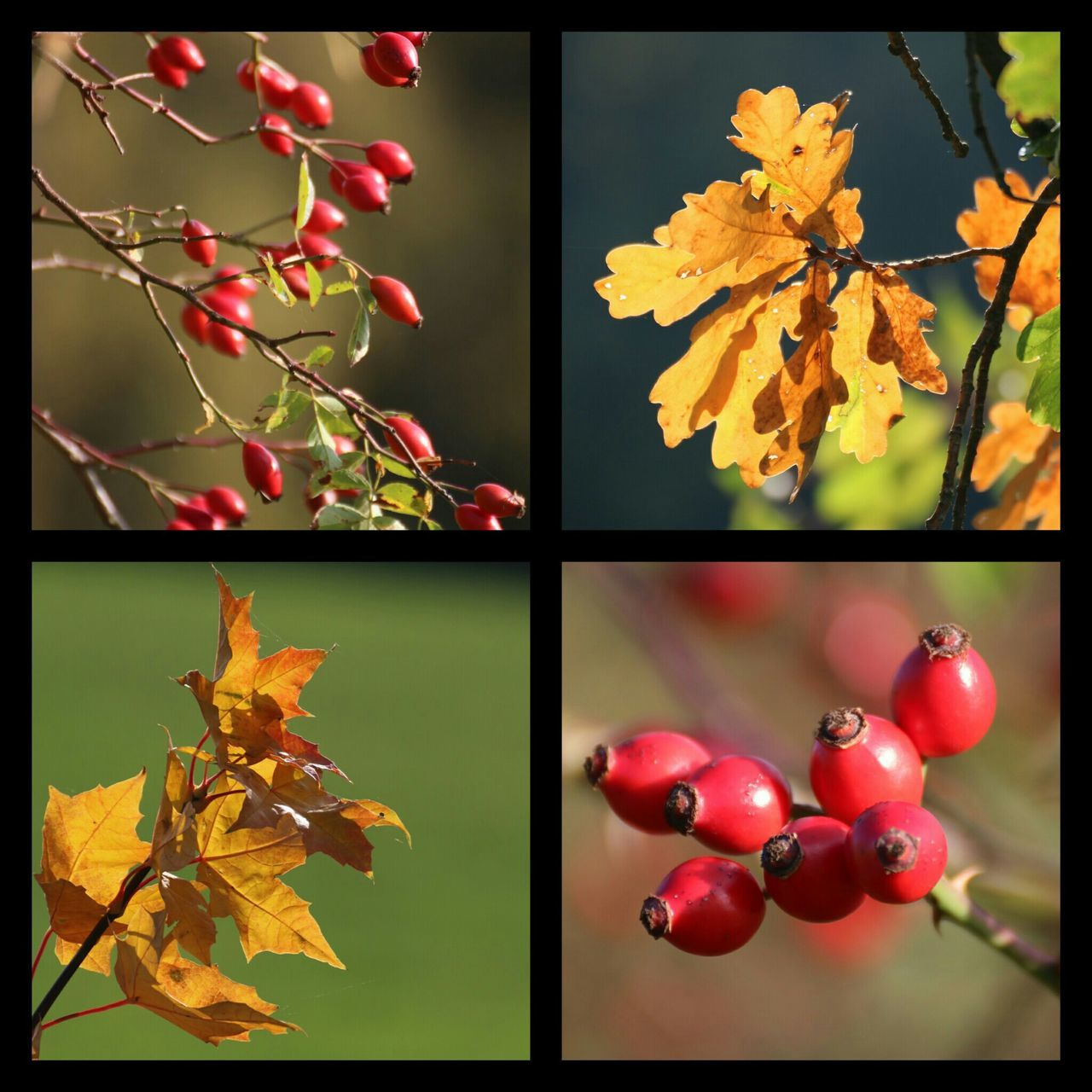 Collage Nature Close-up Autumn Beauty In Nature Change Rose Hips Colors Of Autumn Sunny Day 🍁🍁🍁