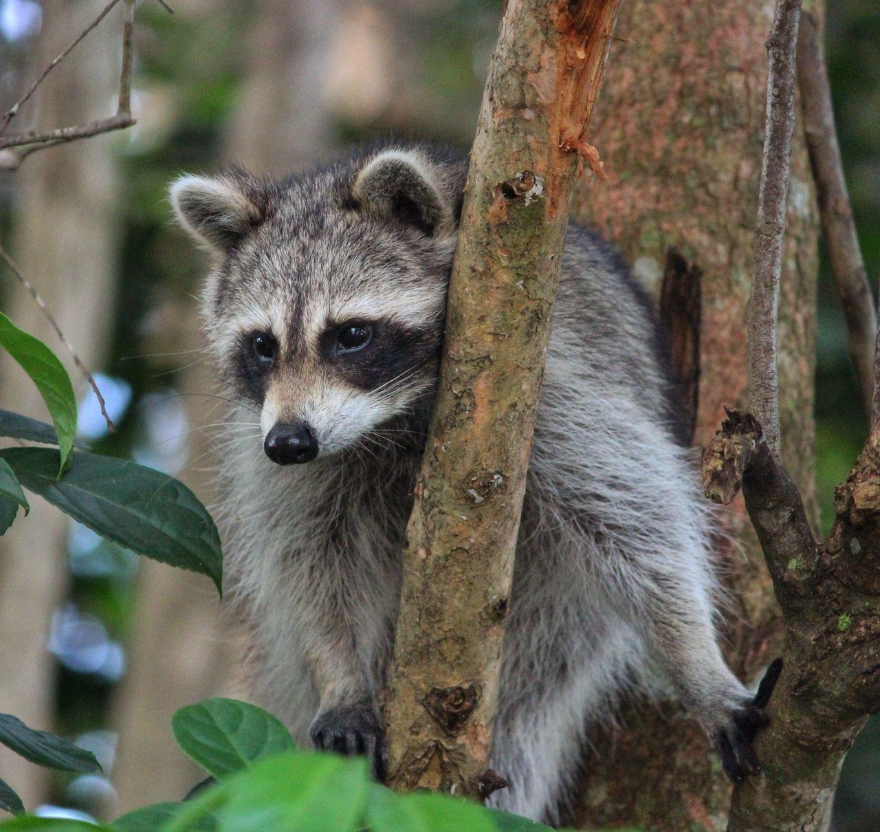 Beautiful stock photos of raccoon, Animal Body Part, Animal Eye, Animal Themes, Animals In The Wild