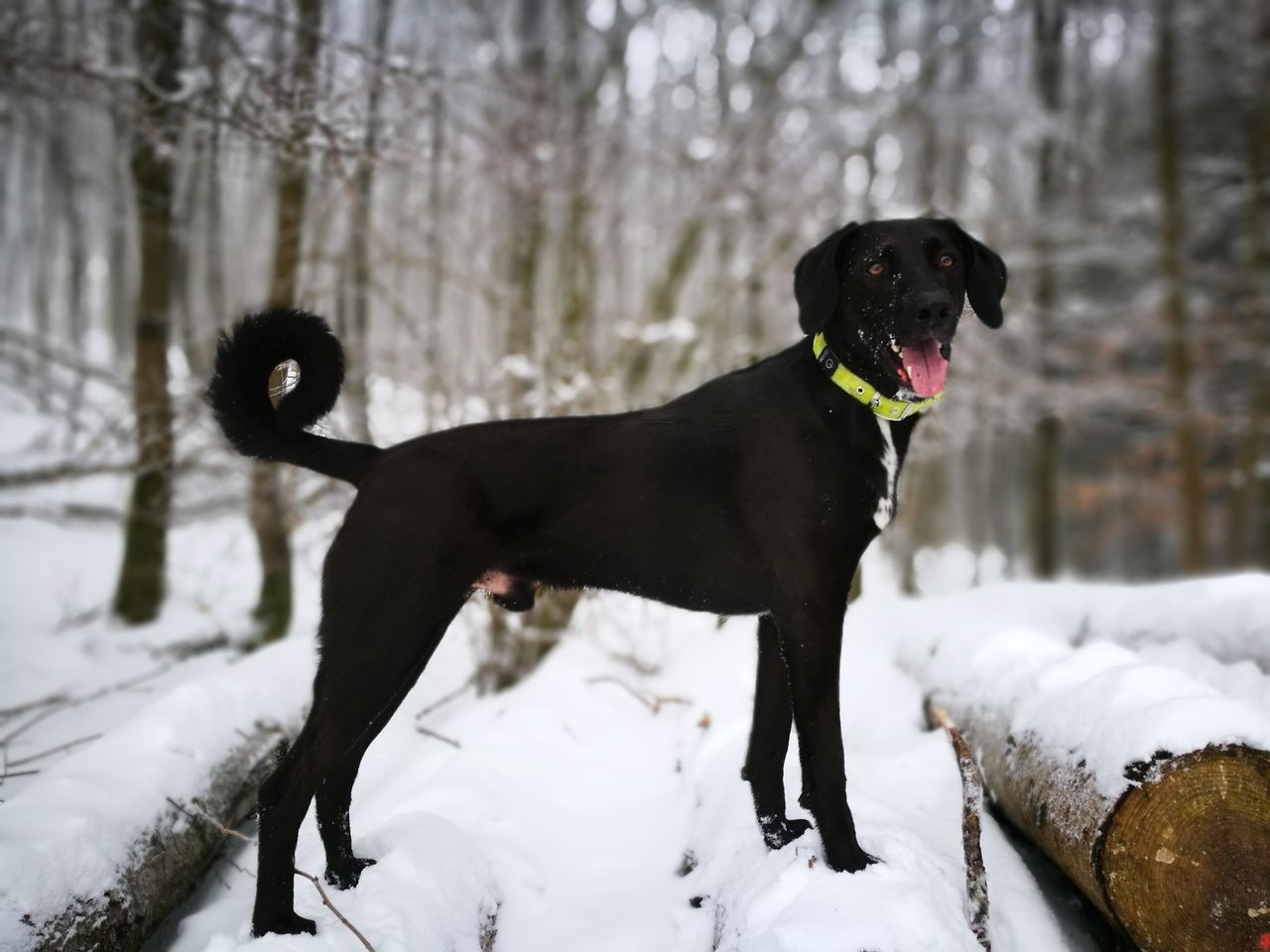 Cold Temperature Winter Snow Pets Dog Black Color Outdoors Black Labrador No People Nature Animal Themes Snowing Tree Day GassiGehen Gassi Lokithedog Doberdor Hundefotografie Hunde Liebe ♡ Hund Portrait HuaweiP9 Huawei P9 Leica Huaweiphotography EyeEmNewHere