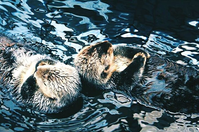 Two Is Better Than One Animal Themes Water High Angle View Zoology Pets Swimming Tranquility Water Surface Animal Love Is Love Beauty Otters Lisboa Portugal