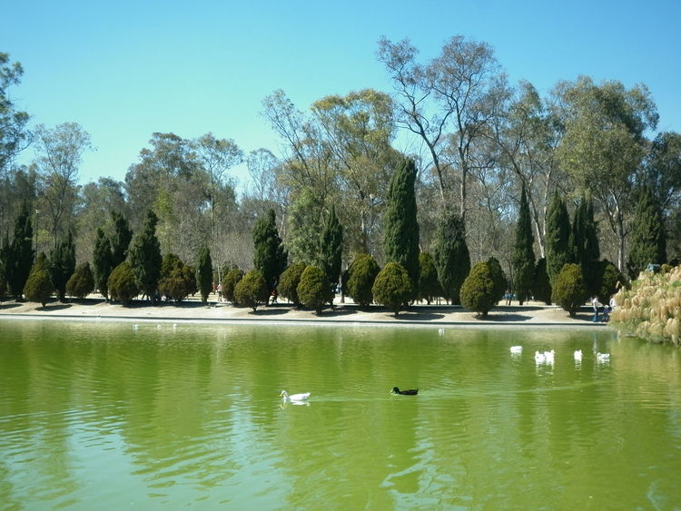 Animal Themes Beauty In Nature Chapultepec Lake Day Mexico City Outdoors Tranquil Scene Tranquility Tree Water Water Bird Waterfront