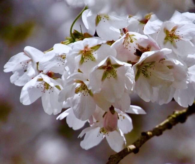 Springtime Flower Nature Flowers Of EyeEm White Color Fragility Freshness Close-up Beauty In Nature Petal Stamen Apple Blossom Flower Head Blossom Twig Tree No People Outdoors Pollen Plum Blossom Check This Out EyeEm Best Shots - Nature EyeEm Nature Lover EyeEm Best Shots First Eyeem Photo