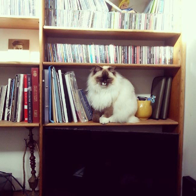 There's a Cat on my Bookshelf . Theadventuresofpuck Cats pets animals home ragdoll