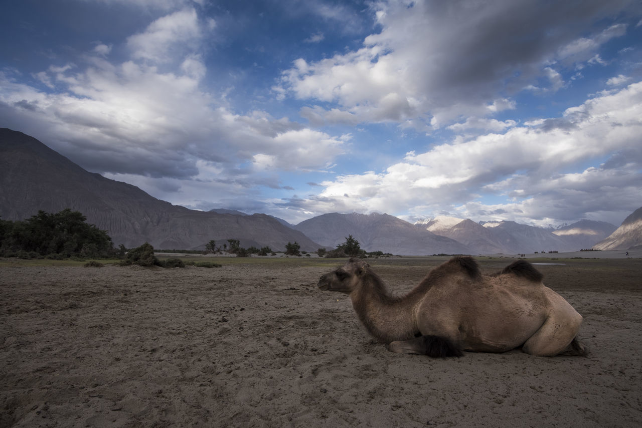 Double Humped Camel resting at Hunder, Nubra Valley Animal Themes Animals In The Wild Beauty In Nature Camel Cloud - Sky Day Domestic Animals Double Hump Camels Field Ladakh Landscape Mammal Mountain Nature No People Nubra Valley NubraValley One Animal Outdoors Scenics Sky Travel