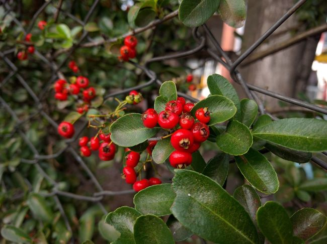 Fruit Growth Red Tree Freshness Nature Close-up Food Food And Drink Branch Outdoors Healthy Eating Plant Berry Fruit Agriculture Leaf No People Horizontal Rowanberry Beauty In Nature