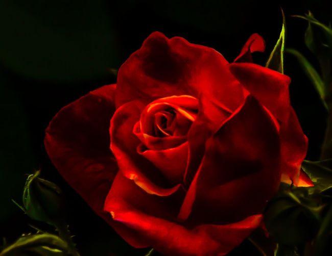 Mid Night Rose Eyeemroses Rose♥ Flower Collection