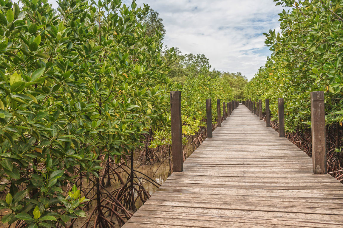 Mangroves Tree Or Shrub ASIA Attraction Brackish Water Cloud - Sky Ecosystem  Eye4photography  EyeEm Best Shots EyeEm Nature Lover Forest From My Point Of View Green Color Growth Landscape Mangrove Nature Outdoors Plant Rhizophora Scenery Shrub Tree Tropical Wood In Rayong, Thailand