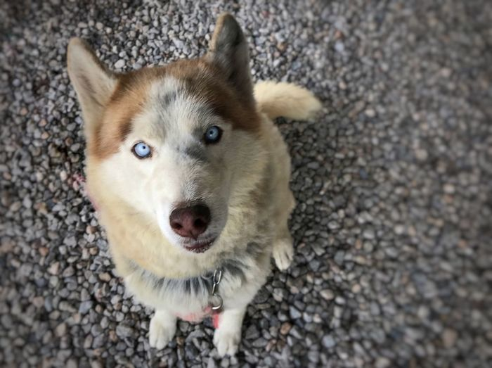 Syberian Husky One Animal Animal Themes Domestic Animals Dog Pets Looking At Camera Portrait