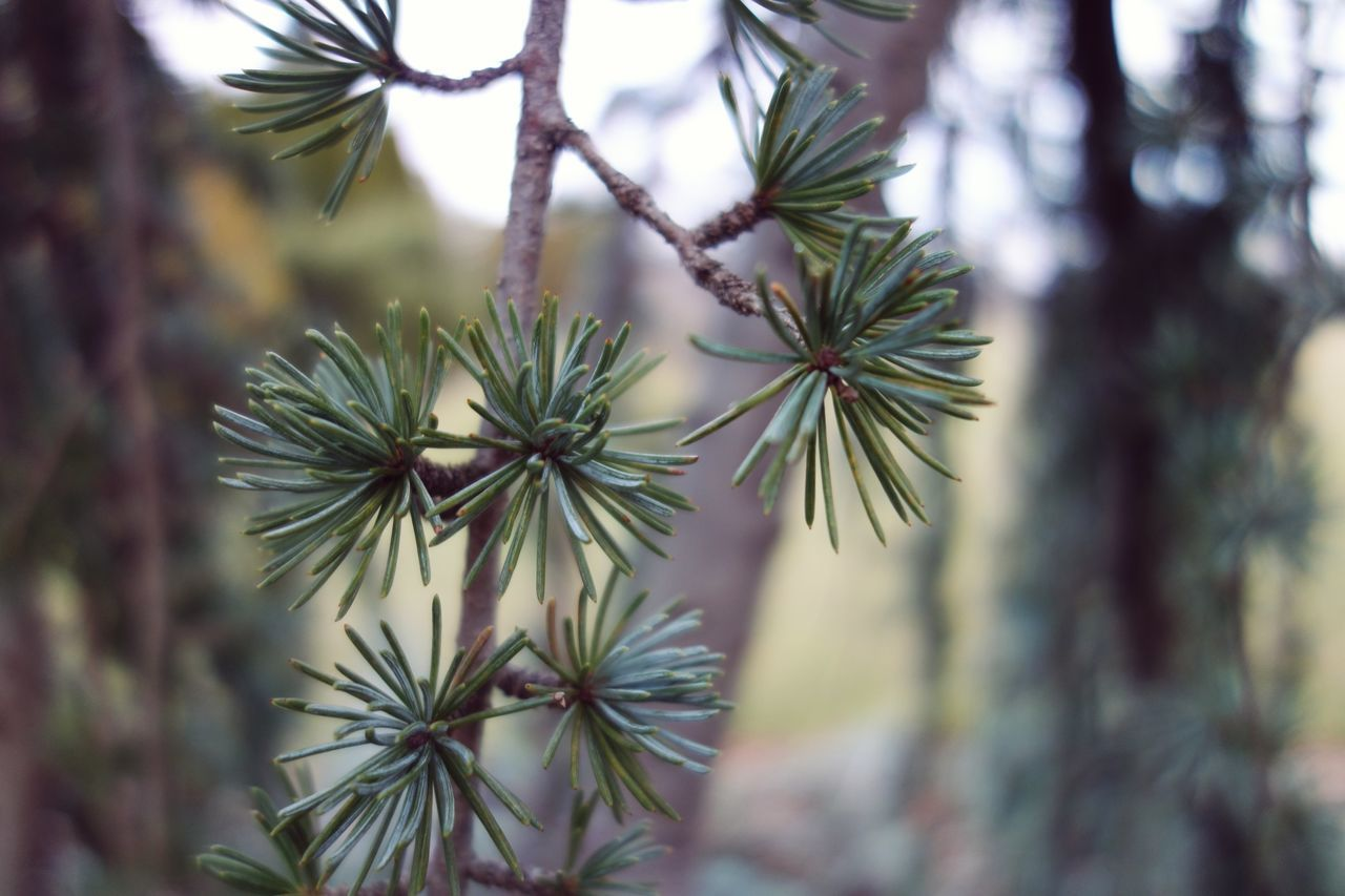 Nature Pinaceae Pine Tree Close-up Growth Tree Beauty In Nature Needle - Plant Part No People OutdoorsEyeEmNewHere Beauty In Nature Tree Evergreen Niagara Falls Canada Botanical Gardens Branch Day Rx100