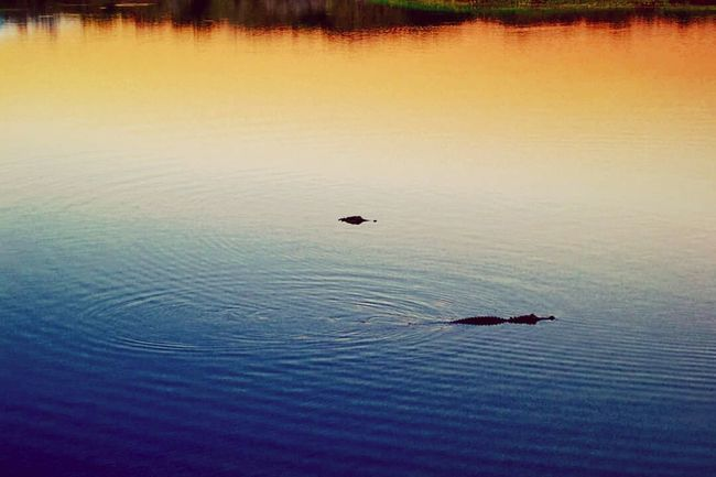Gators Lake Water Nature Beauty In Nature Wetland Gators Alligator Sunset Colors