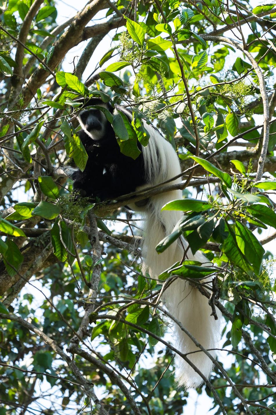 Black And White Colobus Monkey Monkeys Stummelaffe Affe Affen EyeEmNewHere FUJIFILM X-T1 Tansania Kilimanjaro Tanzania Animals In The Wild Animal Wildlife Mount Kilimanjaro