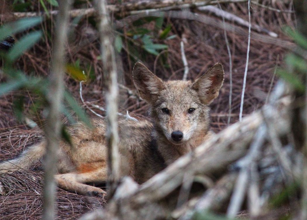 I have been trying to catch this injured baby coyote all day at work.we want to send her to wildlife care center to be fixed. Animals Nature Photography EyeEm Nature Lover