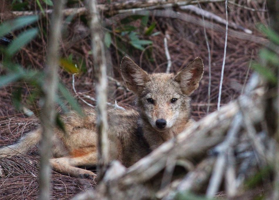 Beautiful stock photos of coyote, Alertness, Animal Head, Animal Themes, Coyote