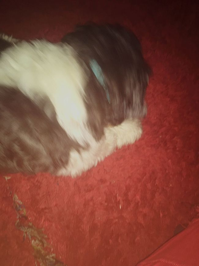 Red One Animal Domestic Animals Pets Animal Themes Mammal Dog No People Indoors  Close-up Day London Lifestyle Beautiful Beauty Capturing Motion Shih Tzu Beauty In Nature