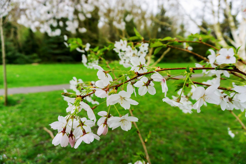 White flowers in a park in springtime, UK. Beauty In Nature Bushes Close-up Day Daytime Flower Head Flower Stems Fragility Freshness Grass Green Leaves Growth Nature No People Outdoors Outdoors Photograpghy  Outside Trees White Flower White Petals