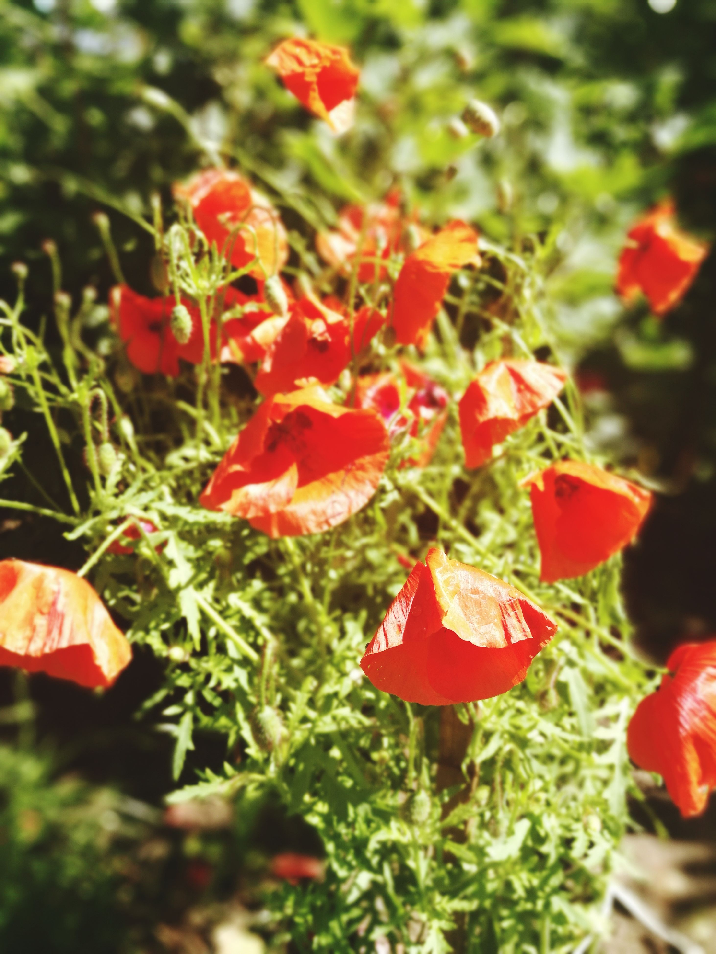 growth, beauty in nature, nature, red, plant, no people, outdoors, day, freshness, close-up, fragility, flower
