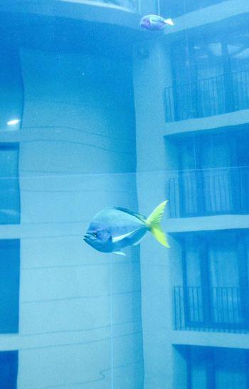 Fish Swimming With The Fish Herro Blue