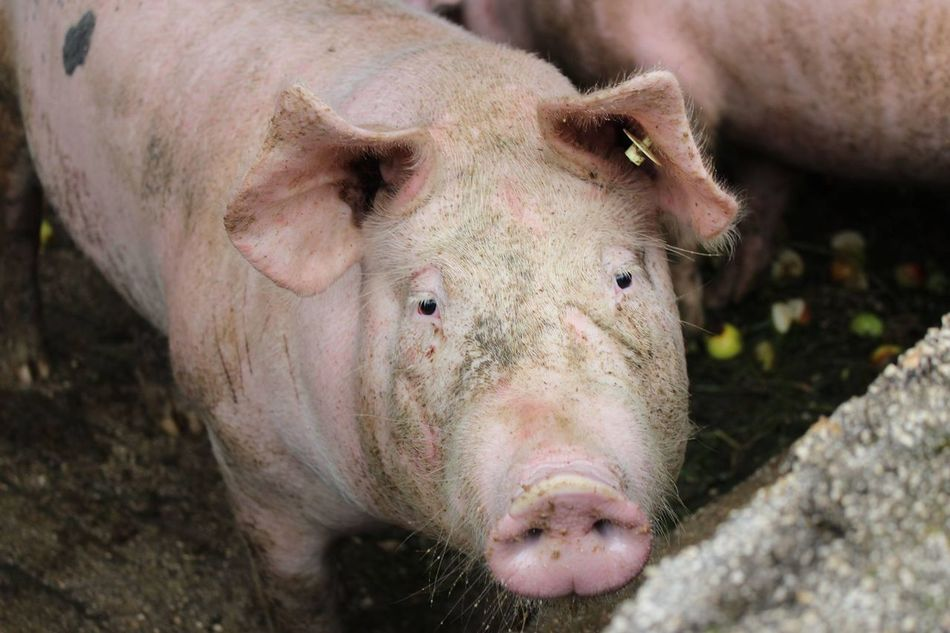 Pig Animals Schwein Tiere Lookingup Looking At Camera Look Dirty Animal Animal Themes Animal Photography Animal_collection Animal Love Pigs Oink Dirt