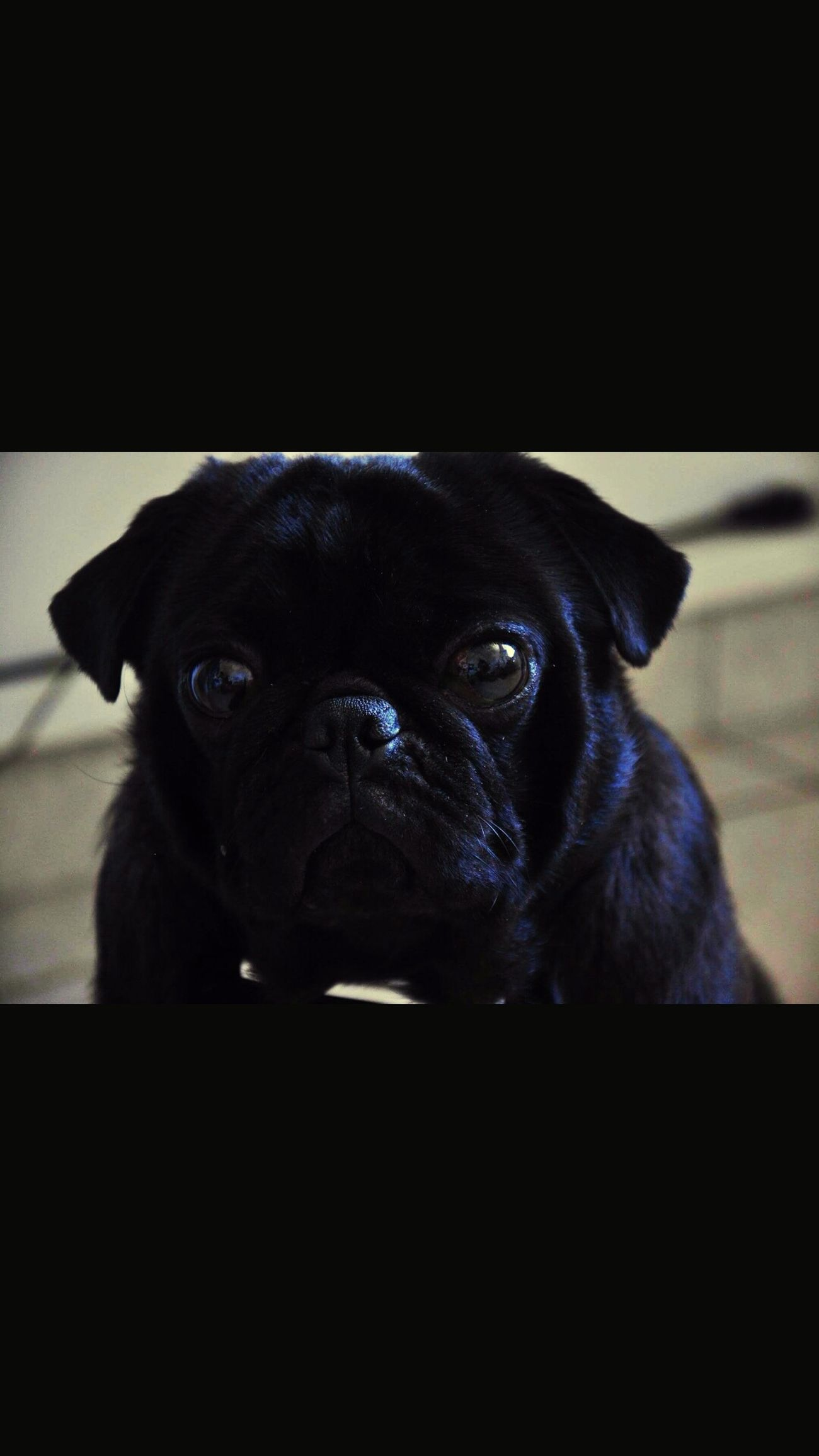 Eyes Puget Sound Pug Life ❤ Pugstagram Pug Time No People Loyalty Zoology Animal Nose Animal Looking Focus On Foreground Front View Black Color Animal Themes Puglover First Eyeem Photo Puglife Pug Girl Puglove  Pugpug Pugsofinstagram Puglove  Pug One Animal