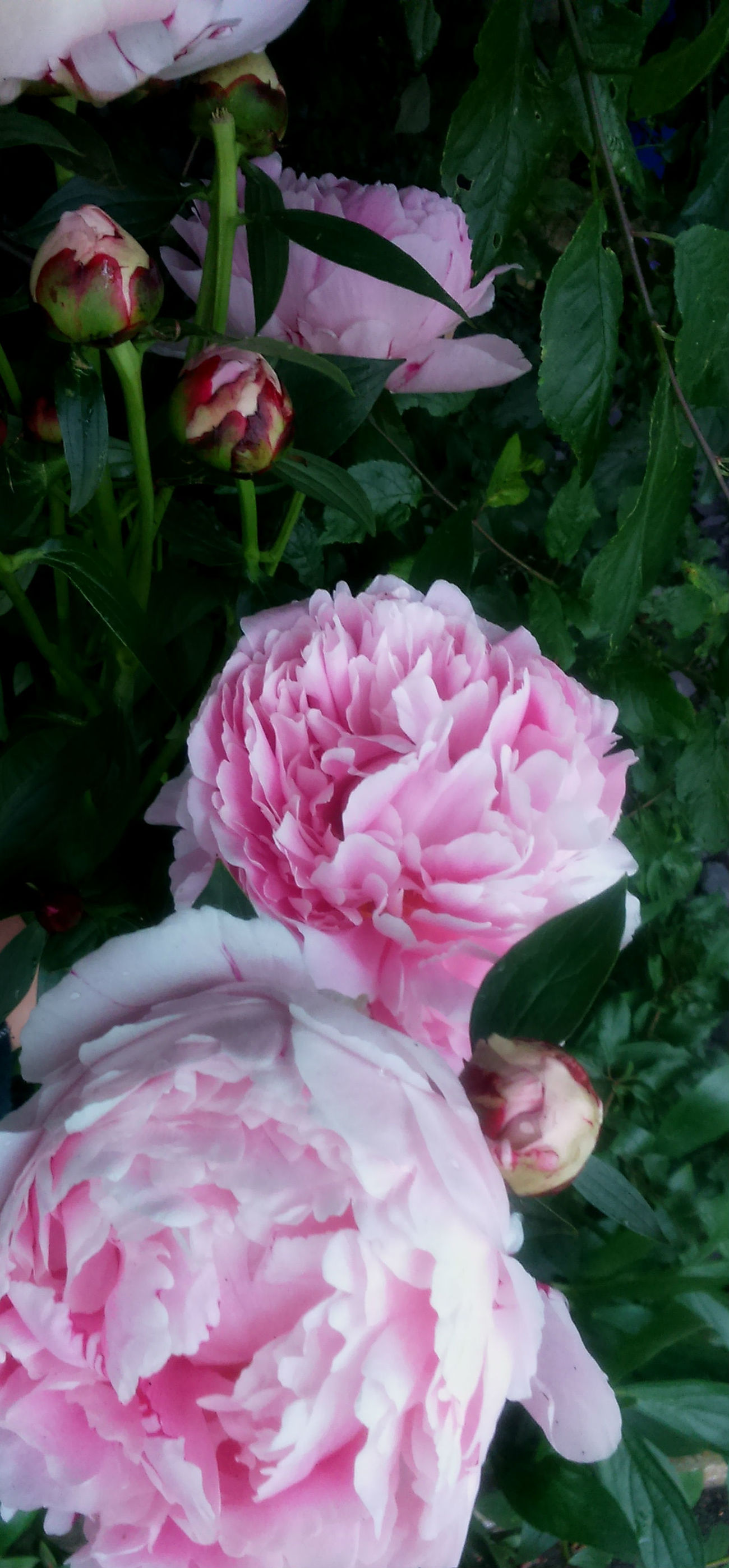 Beauty In Nature Buds Close-up Flower Flower Head Fragility Freshness Garden, Growth Leaf Leaves Magenta Nature No People Outdoors Peony  Petal Petals Pink Color Plant