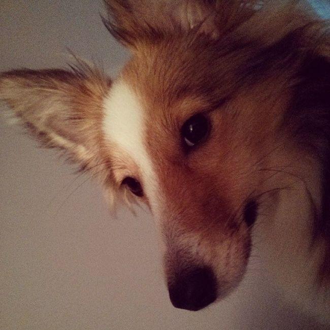 Good morning :-) Sheltie Sheltiesofig_ Shelties  Sheltiemix mixedbreed dogstagram goodmorning puppy cute