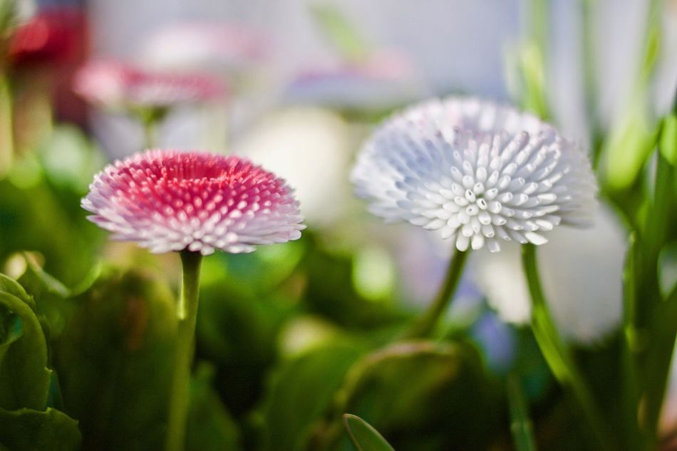 Flower Fragility Nature Beauty In Nature Freshness Growth Flower Head Petal Plant Blooming No People Outdoors Close-up Day Daisy