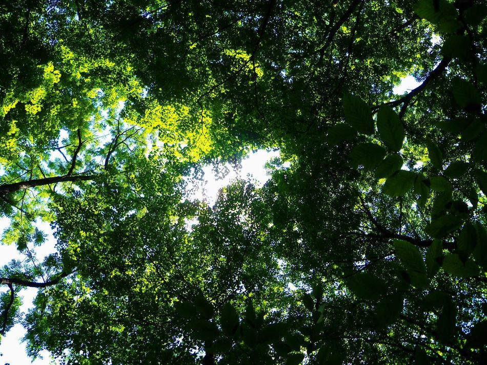 Forest Canopy Backgrounds Beauty In Nature Branch Canopy Canopy Of Trees Day Directly Below Green Color Growth Indiana Leaf Light Light And Shadow Light In The Forest Low Angle View Lush Foliage McCormick's Creek Nature Outdoors Park Path Sky Tranquility Color Palette Trees