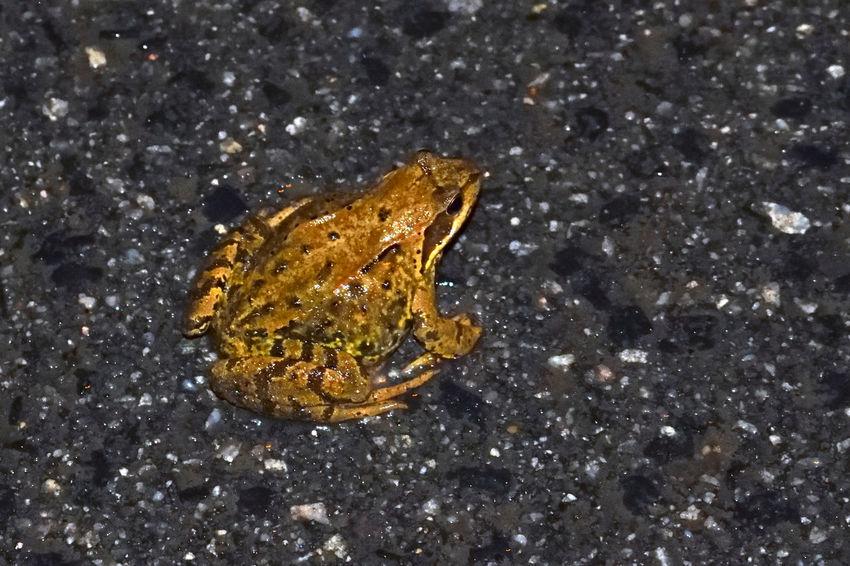 Frog Amfibian Animals Asphalt Frog Nature No People Outdoors Rain Water