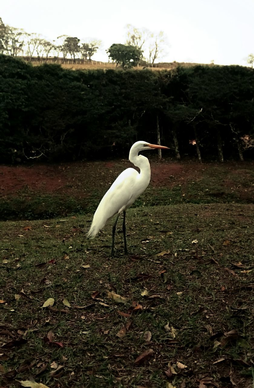 one animal, white color, animals in the wild, bird, animal themes, nature, great egret, egret, animal wildlife, no people, day, grass, outdoors, plant, crane - bird, beauty in nature, water, tree, close-up