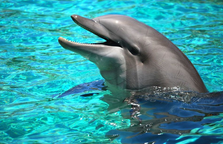 Beautiful stock photos of dolphins, Animal Themes, Animals In The Wild, Bottle-Nosed Dolphin, Bottlenose Dolphin