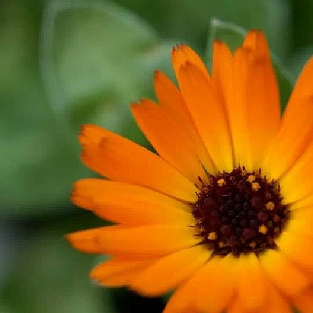 flower, petal, flower head, fragility, beauty in nature, freshness, nature, plant, pollen, growth, orange color, close-up, no people, blooming, day, outdoors