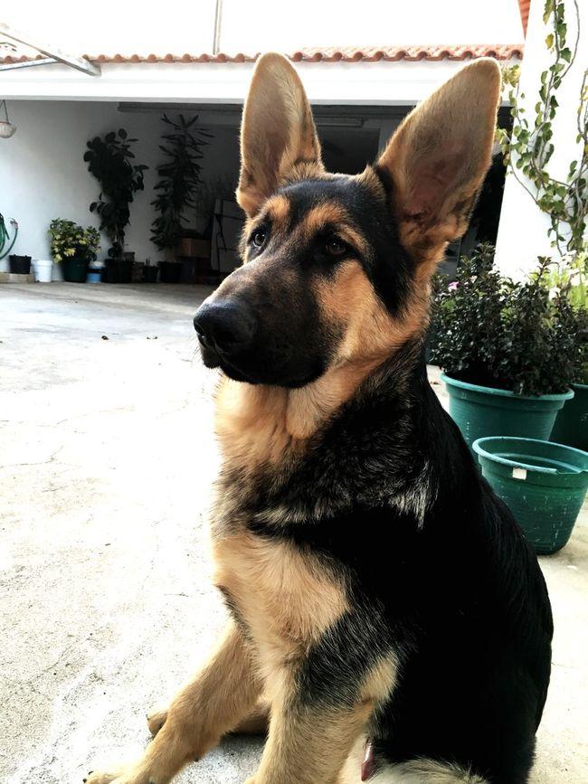 Dogs Of EyeEm Dog Dog❤ Dog Love Dogs Dogoftheday PastorAleman Animal Photography Animal_collection BlackDog Black Beautiful Likeadog Eyemdog