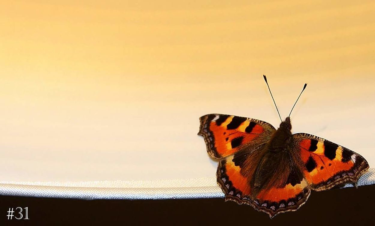 Very unexpected visitor this evening Butterfly Small Tortoiseshell Home 365project Day 31