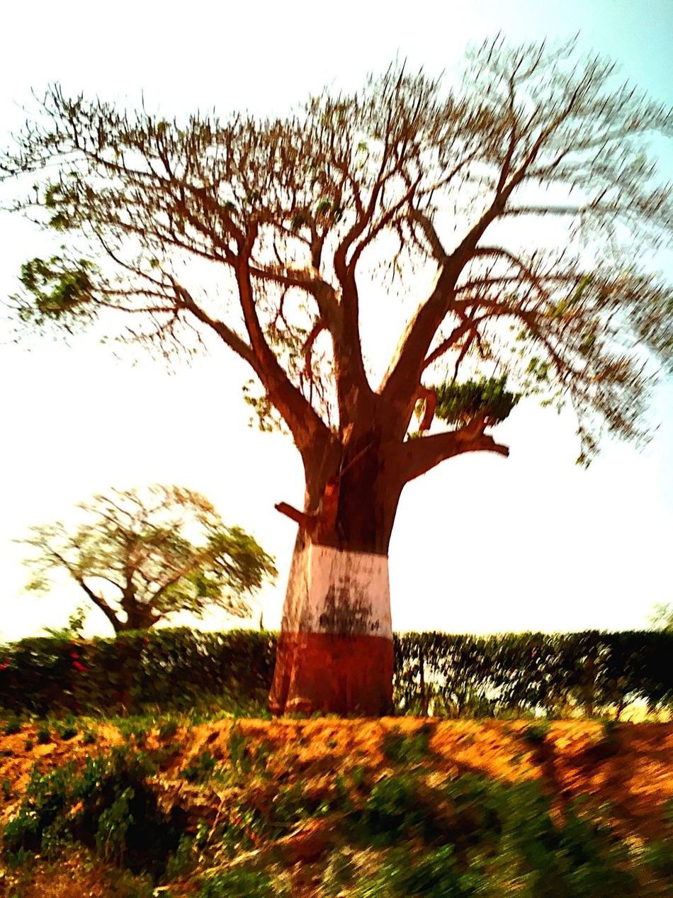Baobab Kenya Paradise Flag Tree Trunk Field Nature Branch No People Grass Growth Beauty In Nature Outdoors Sky Day