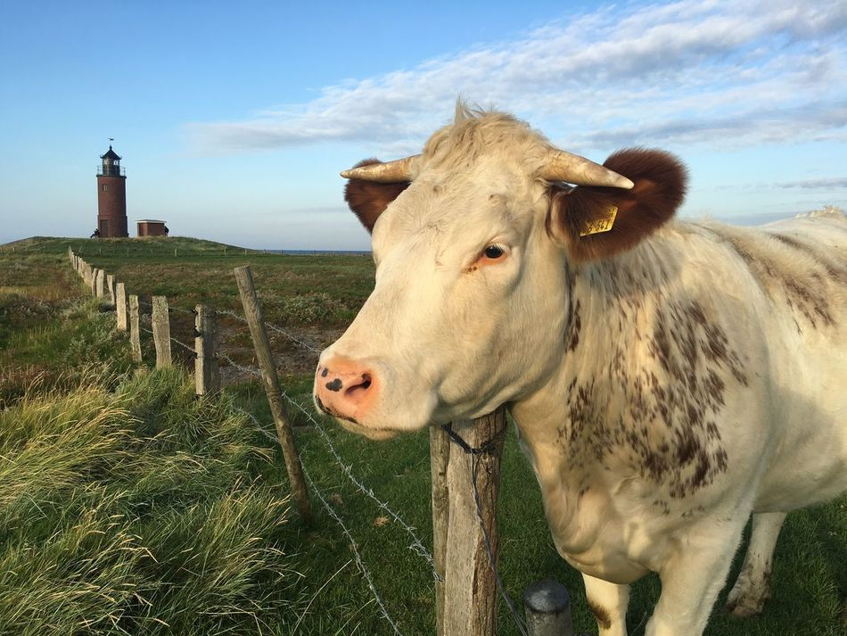 Agriculture Cattle Cow Day Domestic Animals Grass Hallig Landscape Langenes Lighthouse Livestock No People Northsea Outdoors