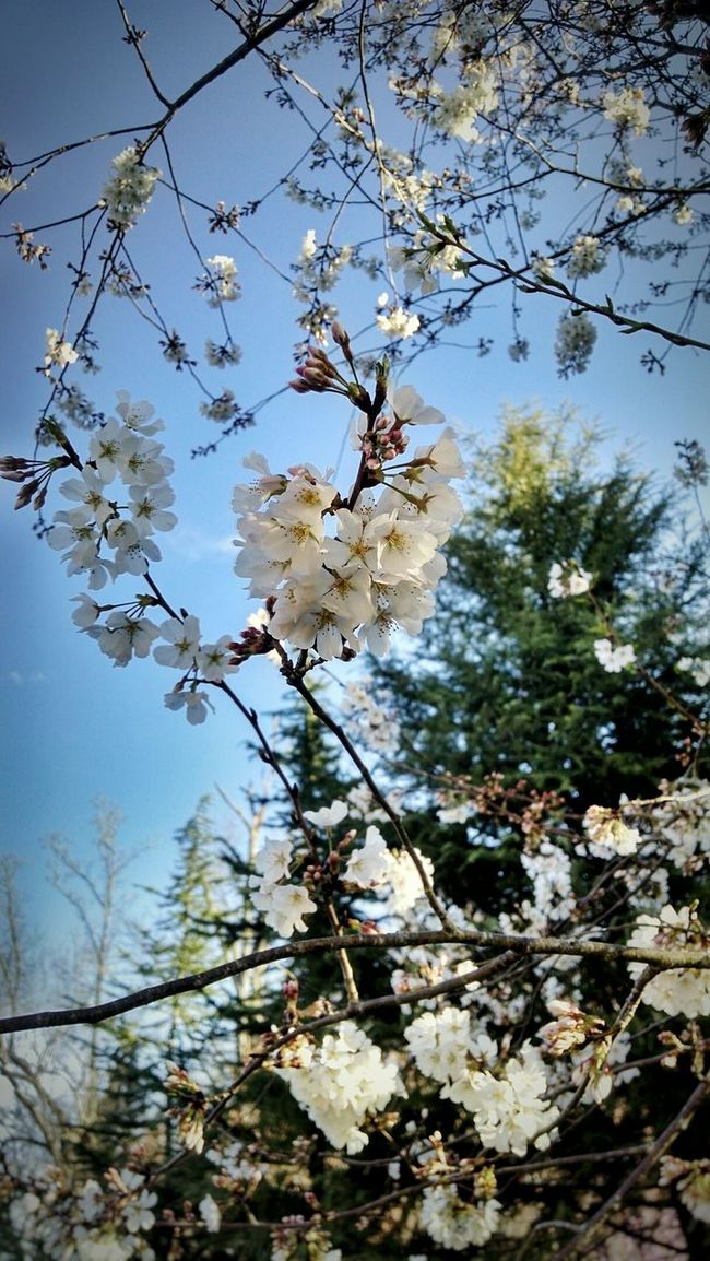Japanese Cherry Tree. Spring Morning ❤tennessee! 💠 Showcase April