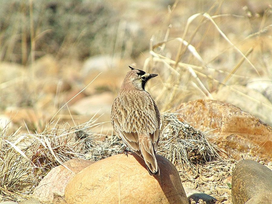 Animal Themes Animal Wildlife Animals In The Wild Bird Close-up Day Focus On Foreground Horned Lark Nature No People One Animal Outdoors Sunlight Wildlife Wyoming Zoology
