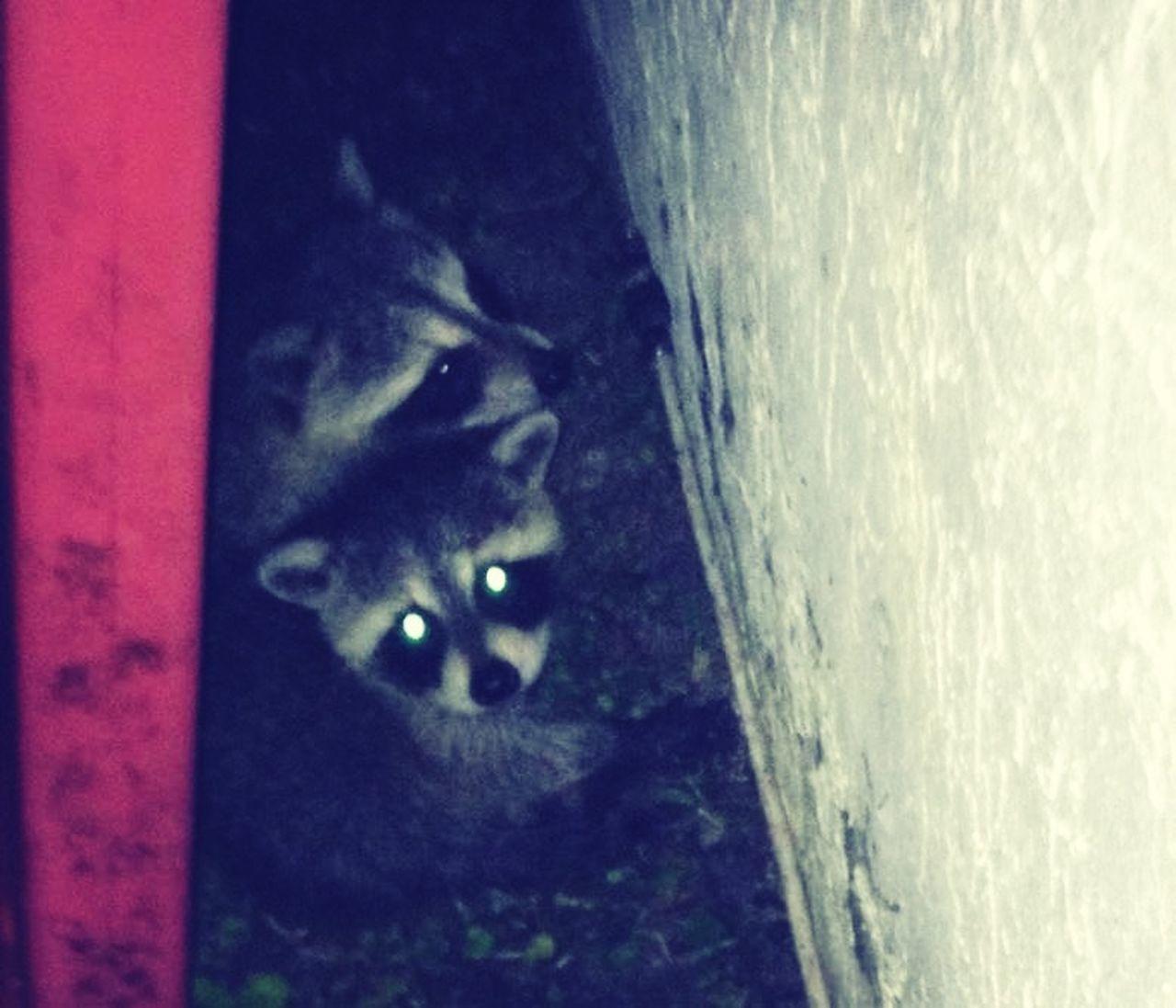 Hello World Baby Raccoons
