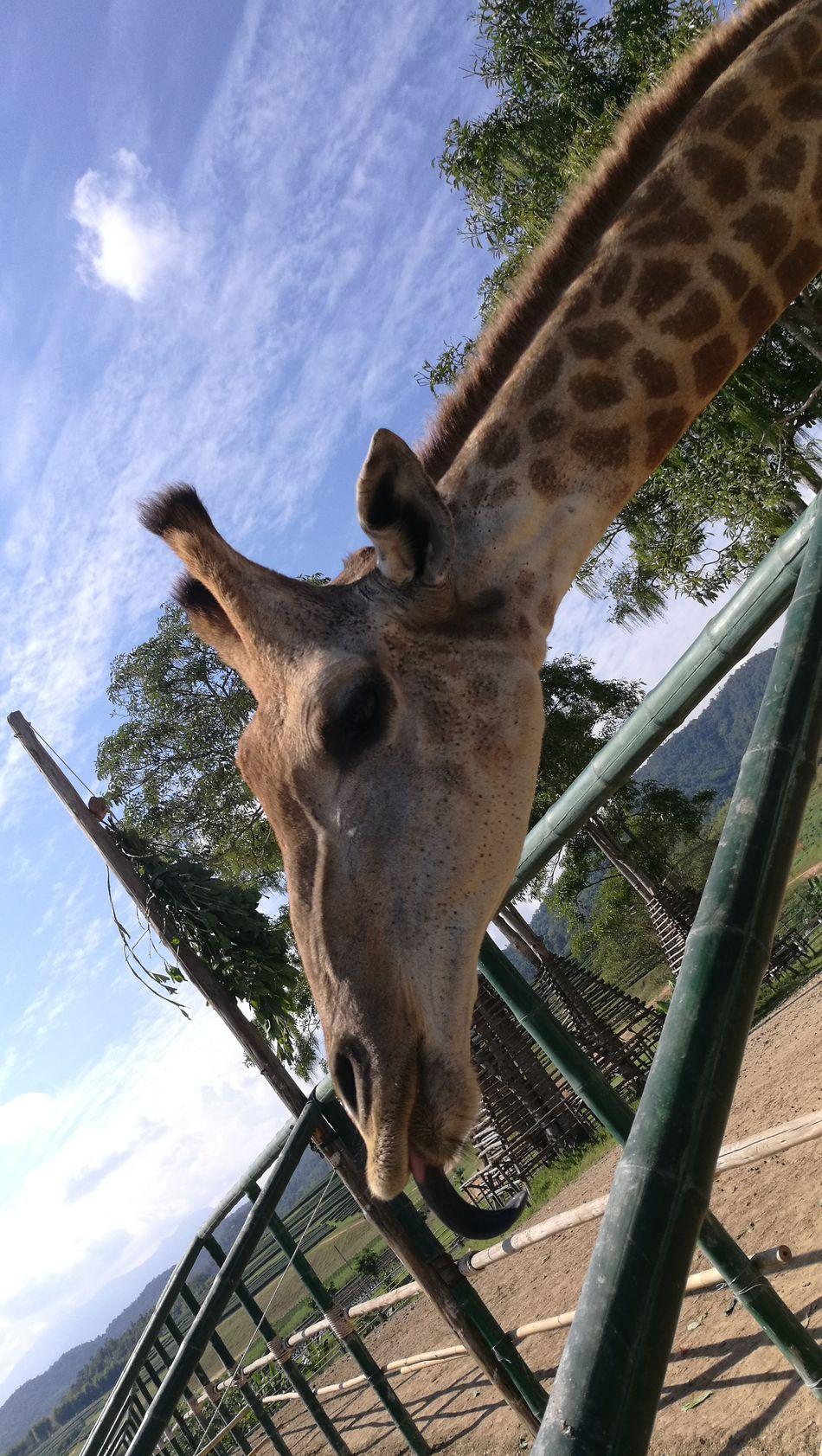 Giraffe Giraffe♥ Safaripark Safari Animals Safari Tongue Tongue Out Lick