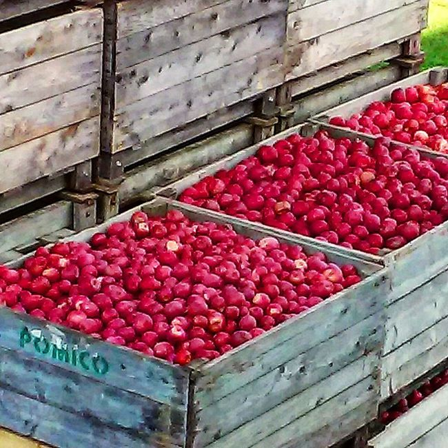 Abundance Red Fruit Apples Pommes Cider Orchard Freshness