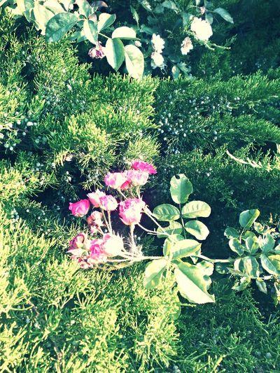 Pink Flow  Sun Green Feodosia Summer ☀ Nature Plants Beautiful Amazing Love